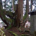 【知ってた?】日本一の杉の巨樹があるのは屋久島ではなく、新潟県。その圧倒的な存在感に、唖然です